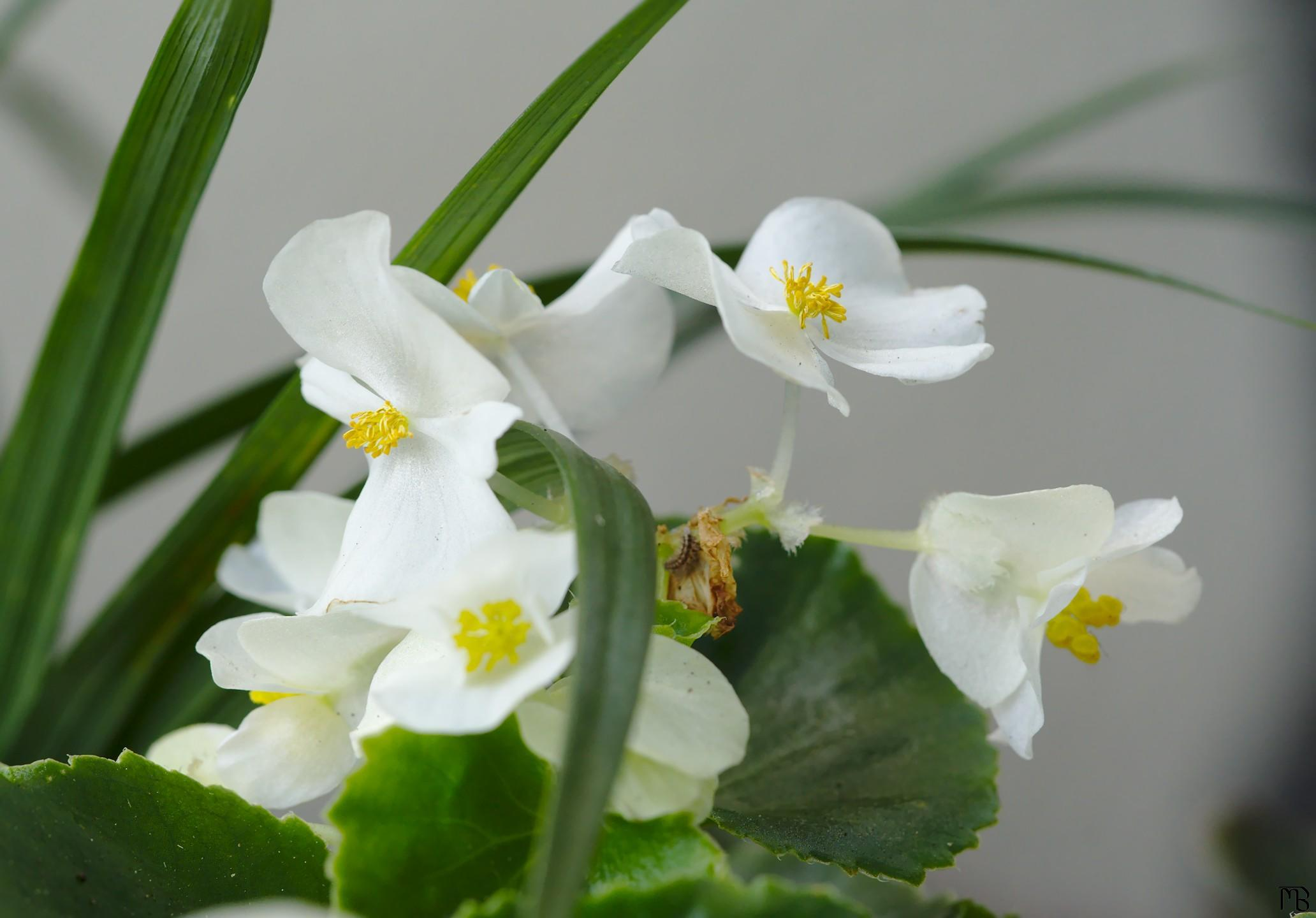 White flowers with yellow middles