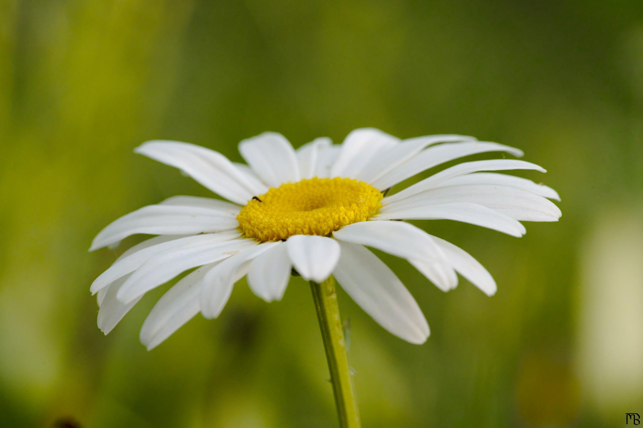 Close up of daisy above grass