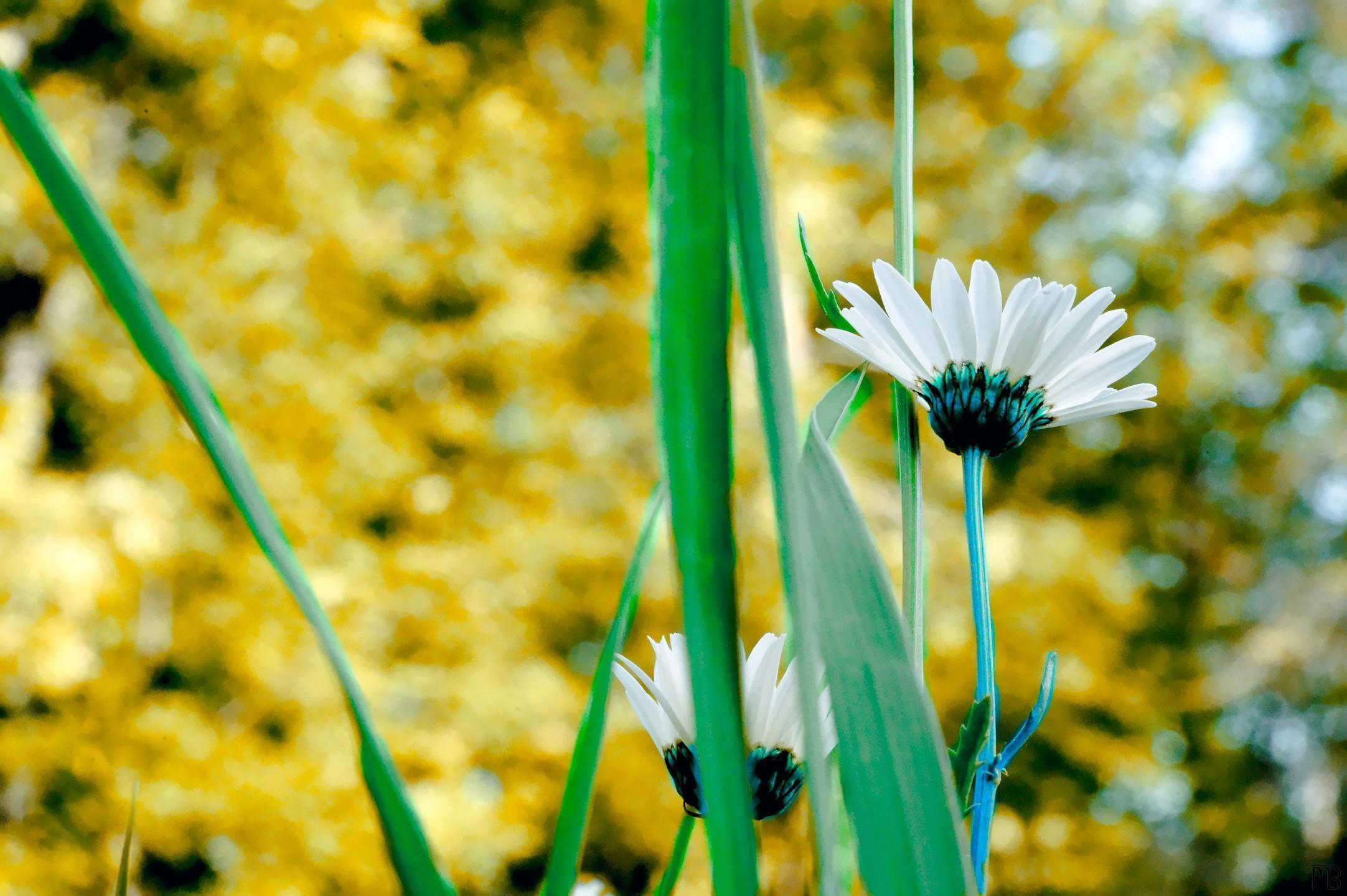 Arty blue daisys with green stems and yellow backgrounds