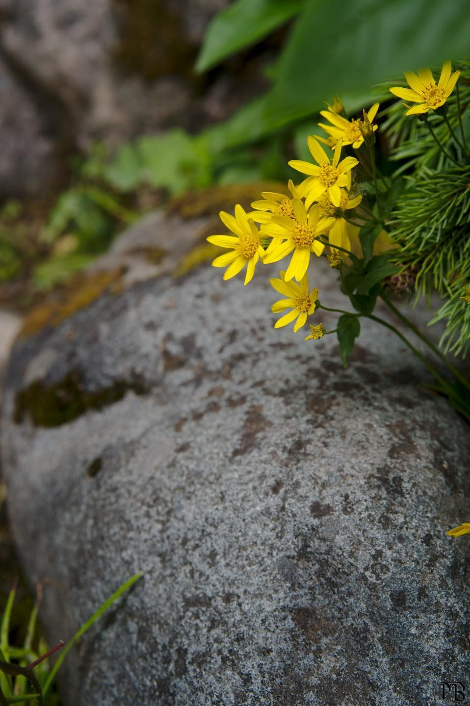 Yellow flowers above rock