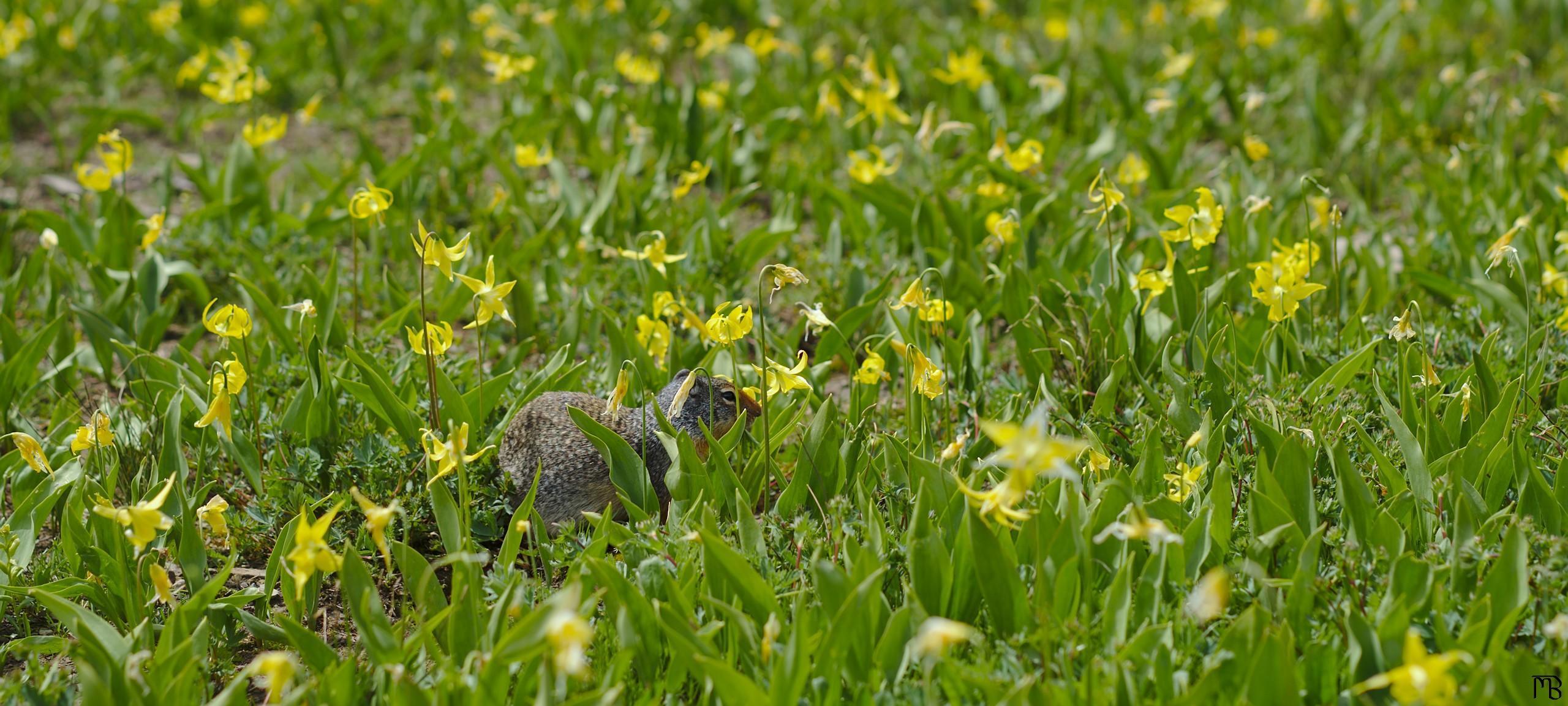 Chipmunk among yellow field of yellow flowers