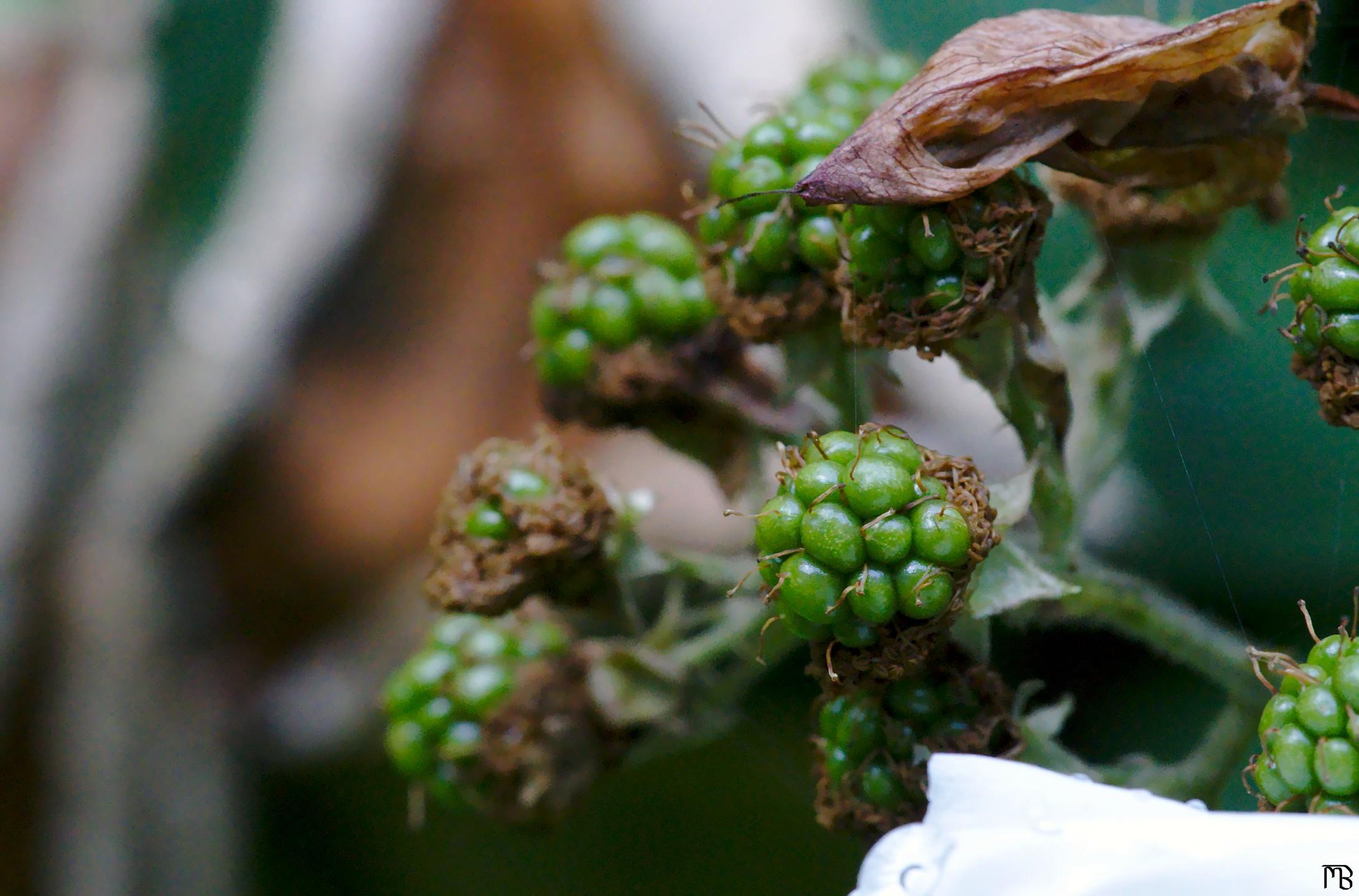 Green berries near leaves