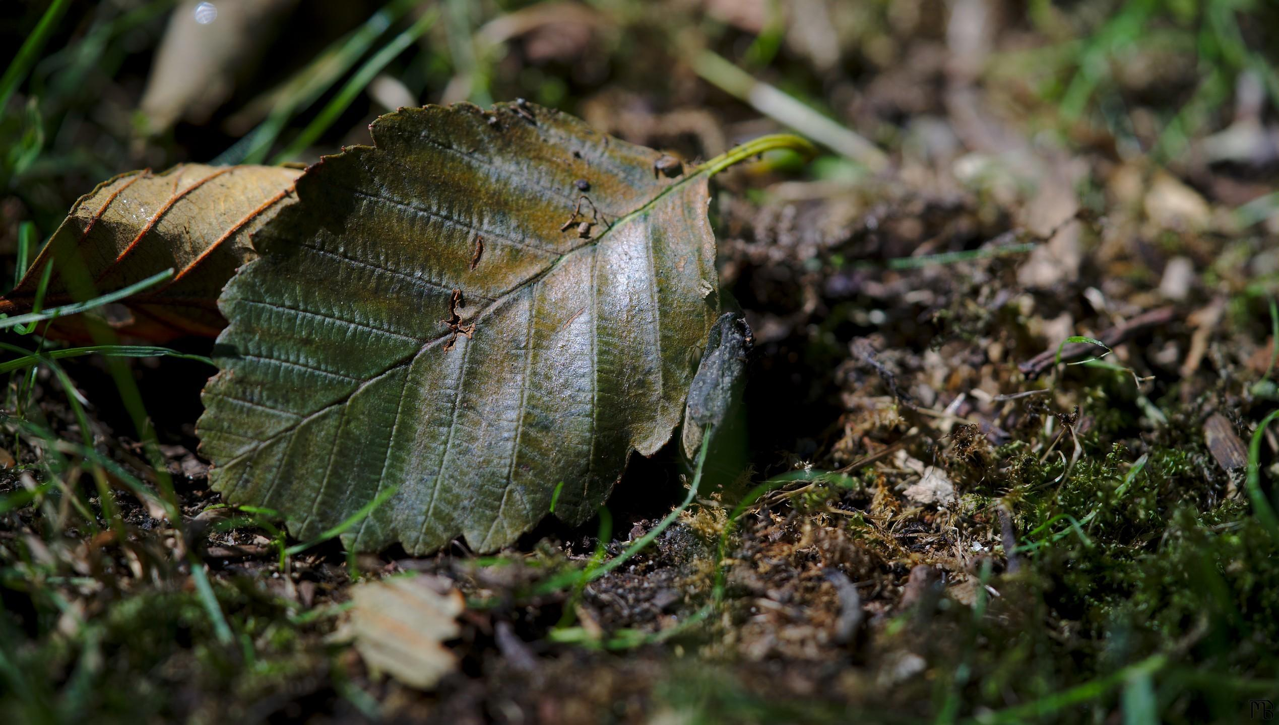 Dying leaf on ground