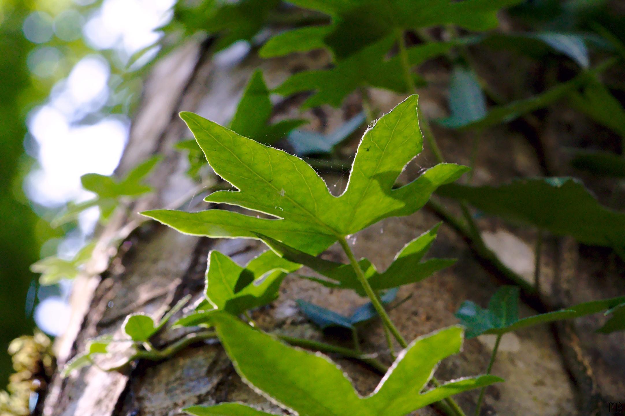 Leaves in sun on tree