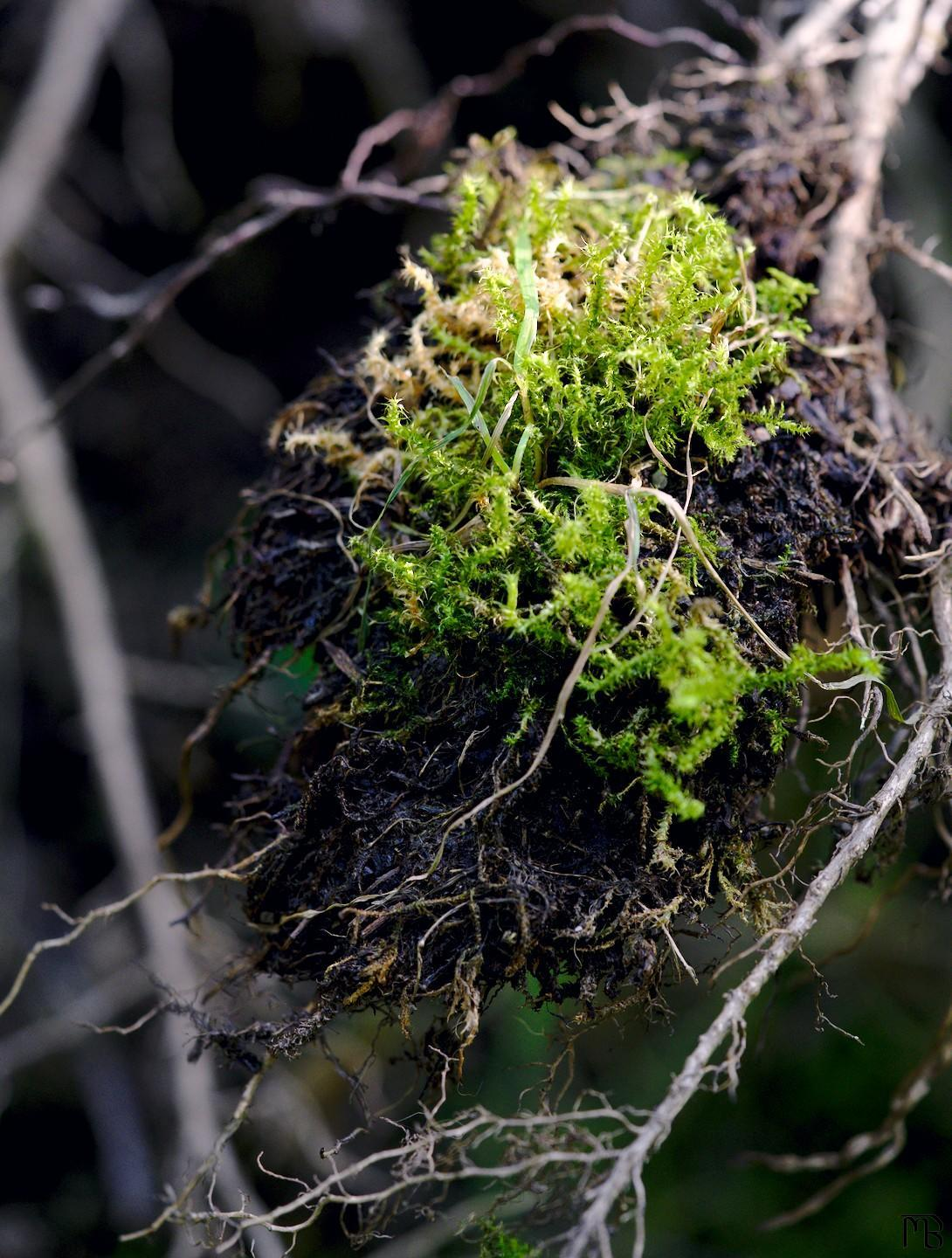 Moss on suspended dirt