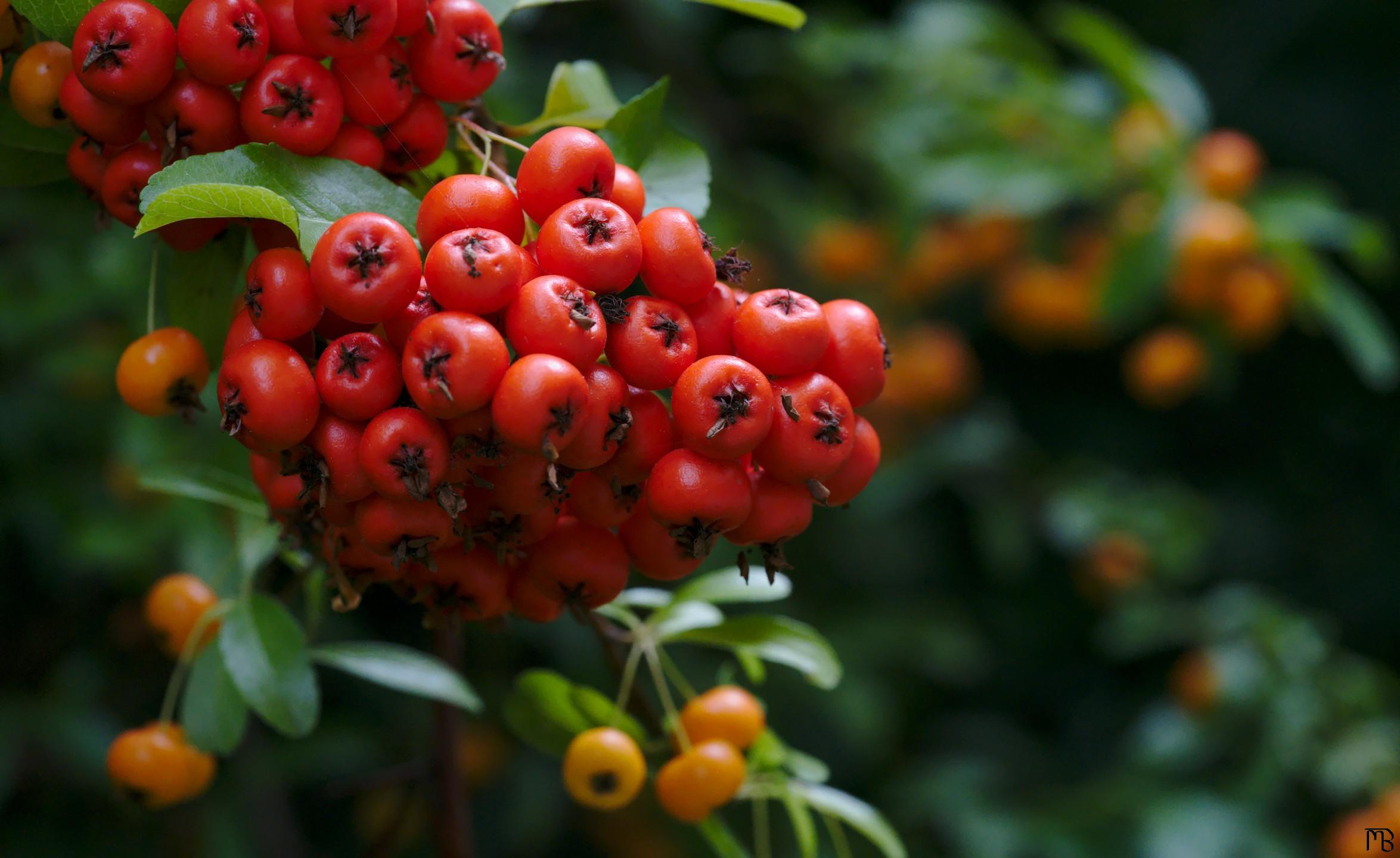 Berries on a tree