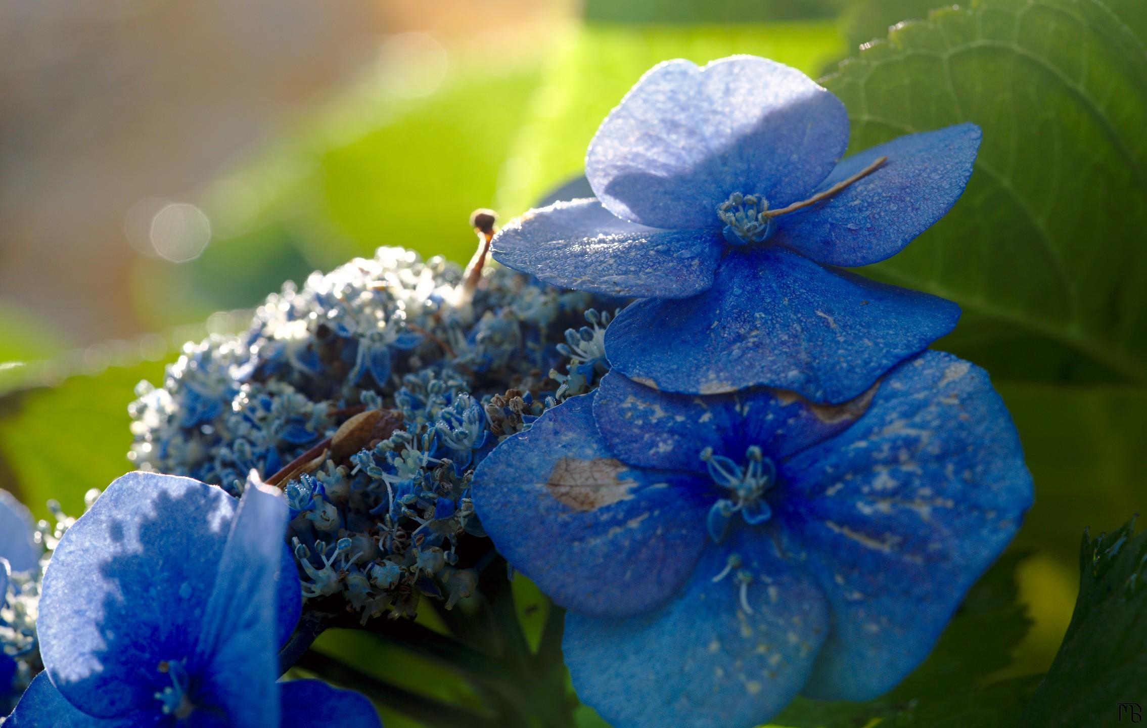 Blue flower petals with water drops