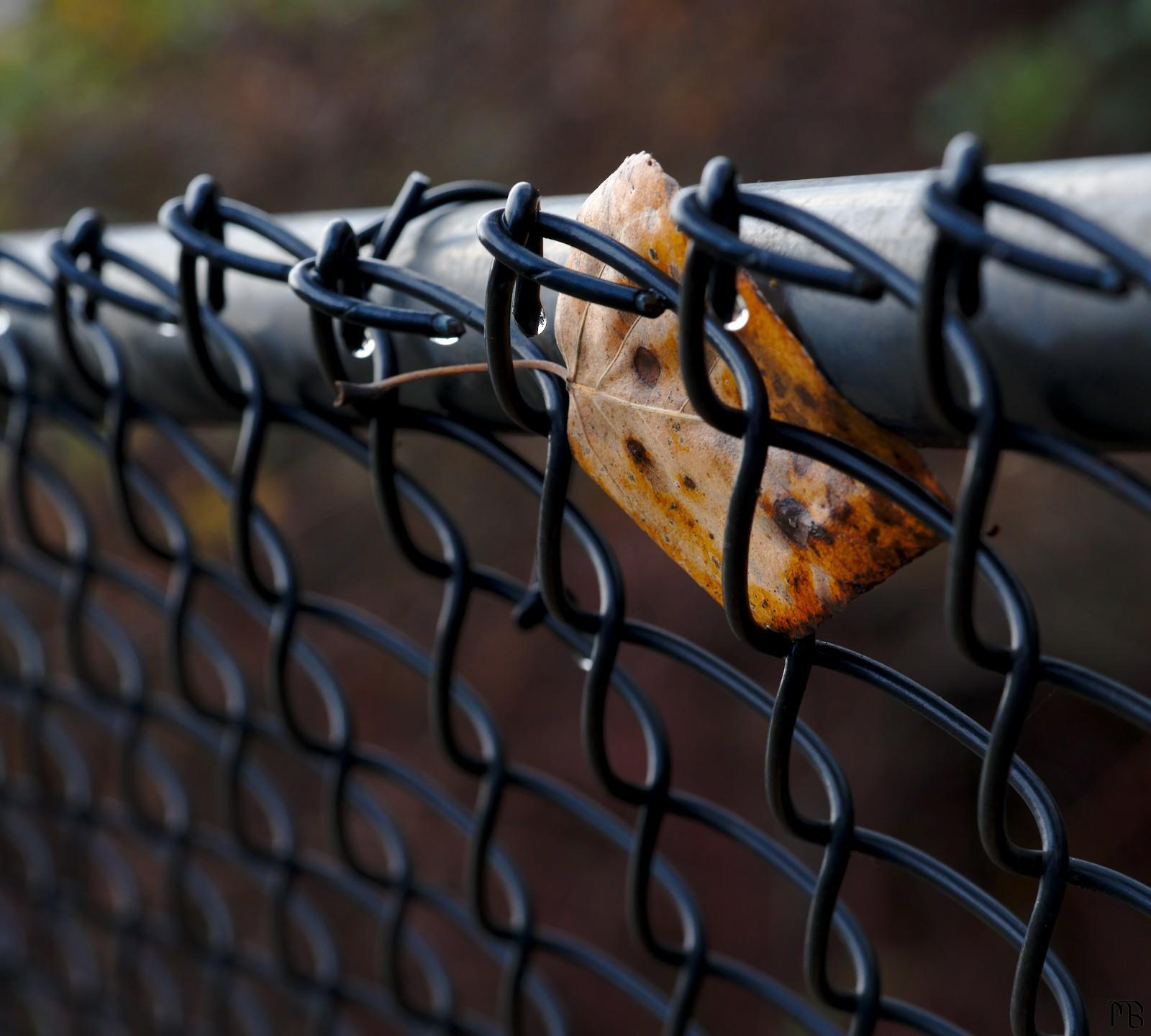 Yellow leaf in fence with droplets