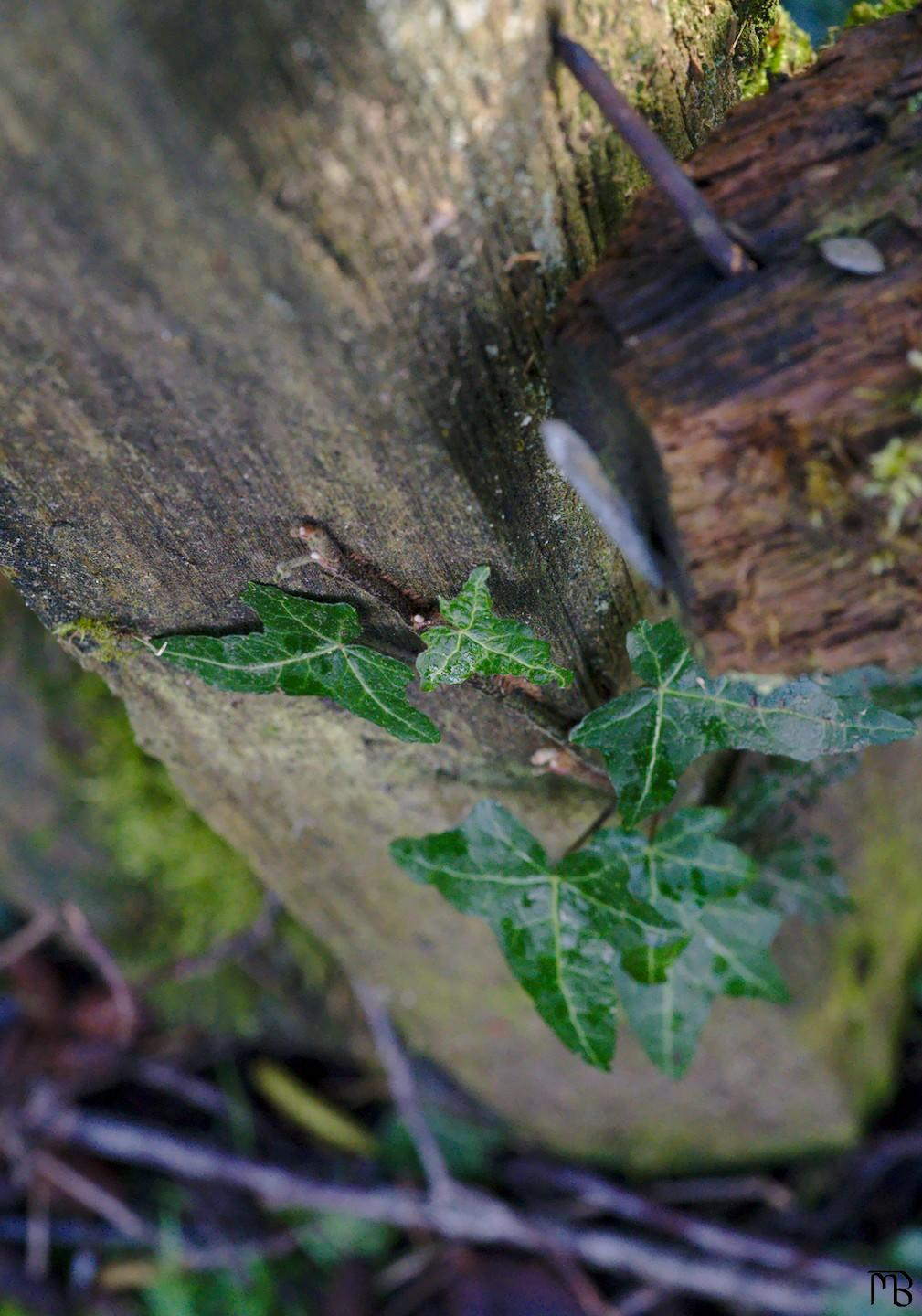Green ivy on wooden fence