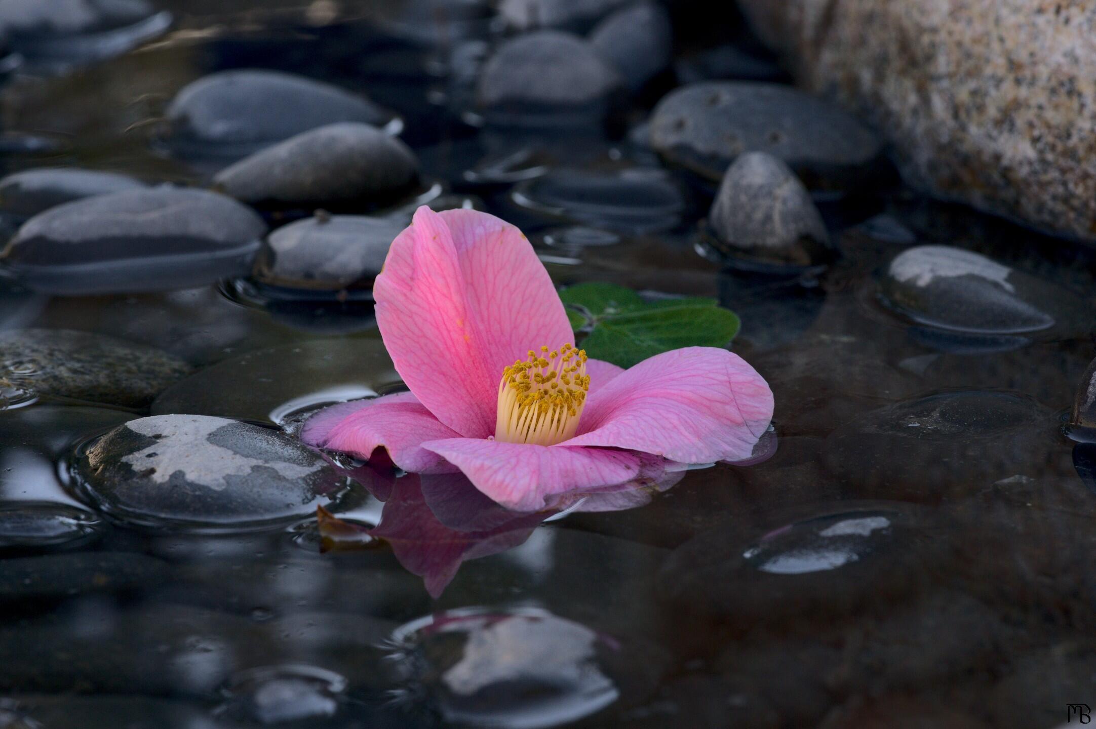 Pink flower, floating in water