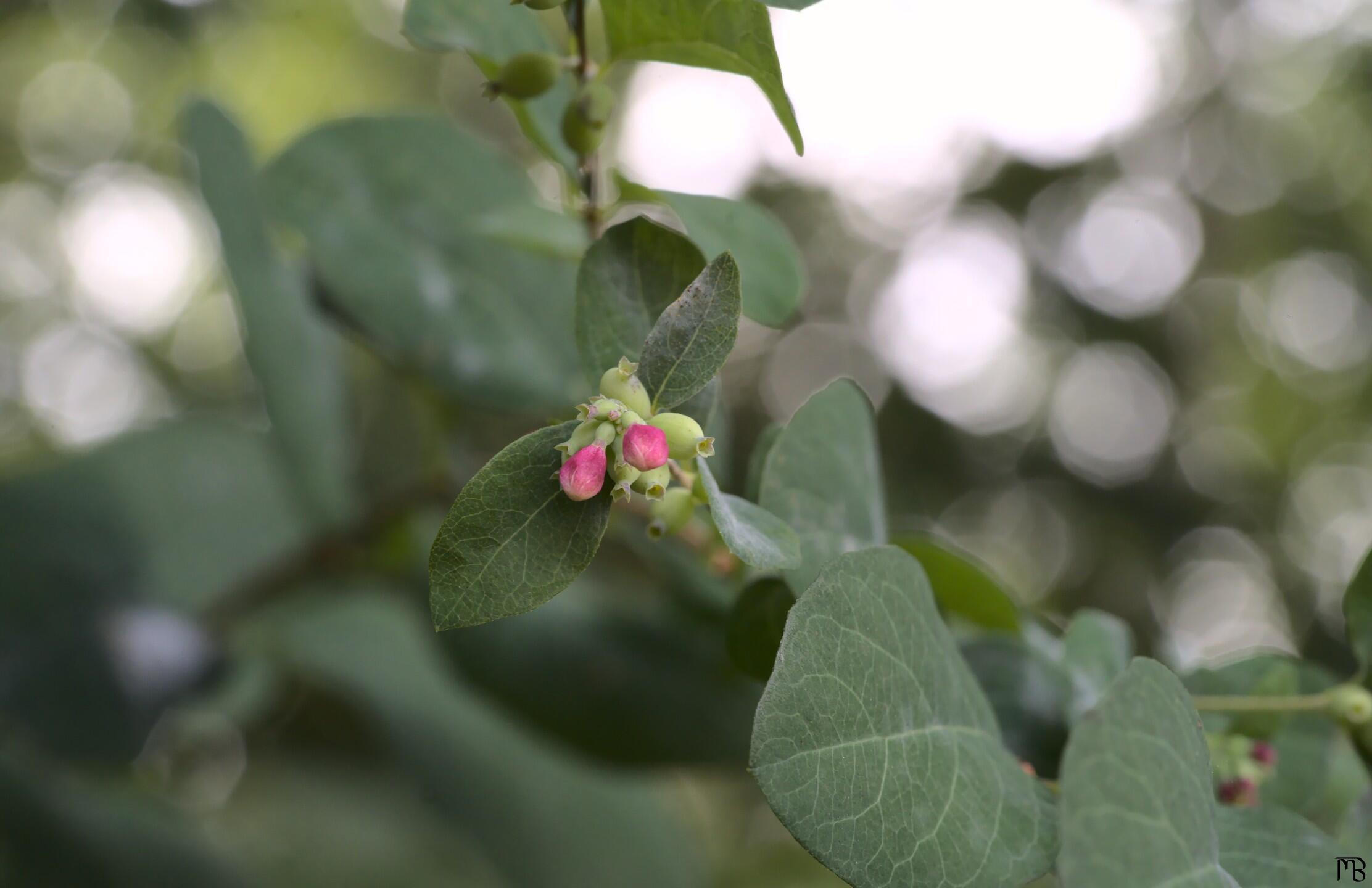 Little red flower buds in bush