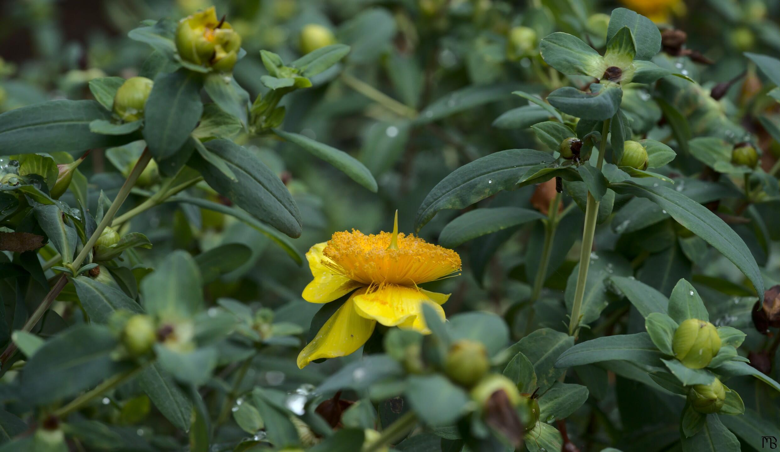 Yellow flower amid green bush