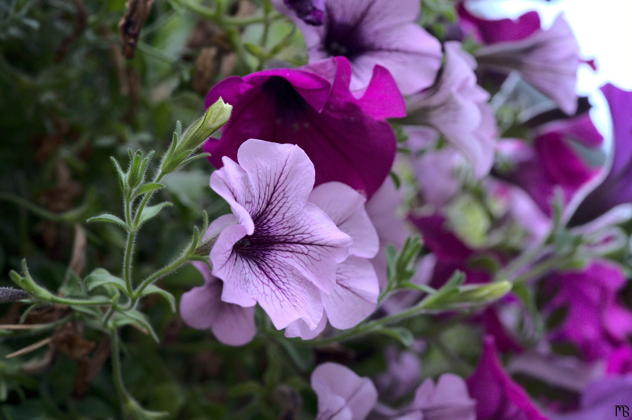 Pink and purple flowers hanging from a planter