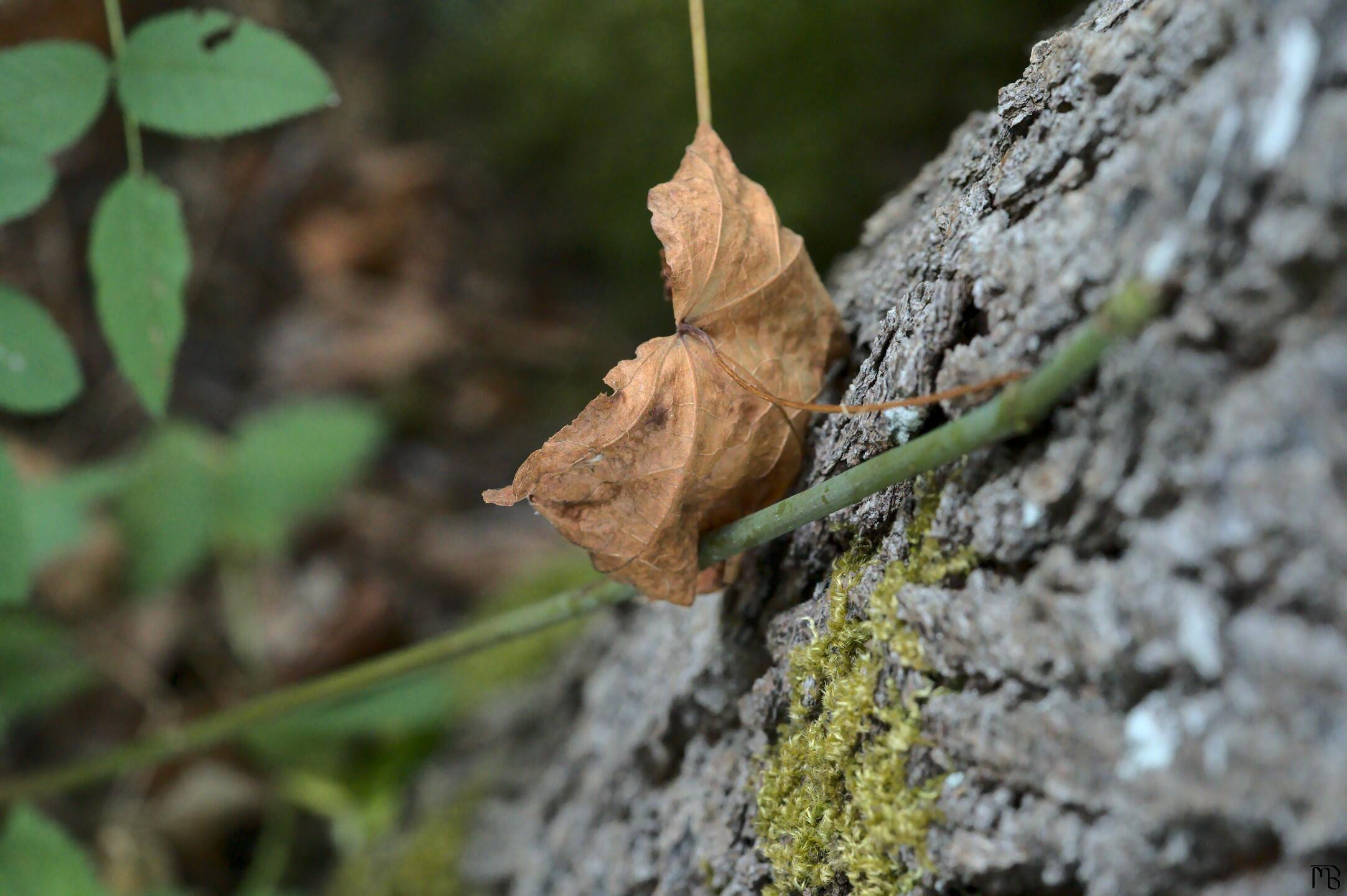 Leaf clinging to a new branch