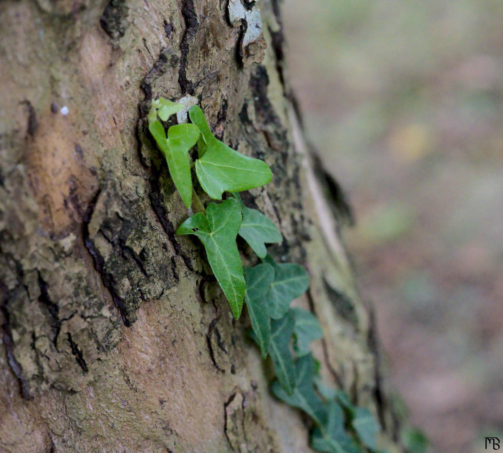 Green ivy on bark